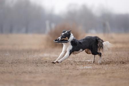 Dog catching flying disk, pet playing outdoors in a park. Australian Shepherd, Aussie Reklamní fotografie