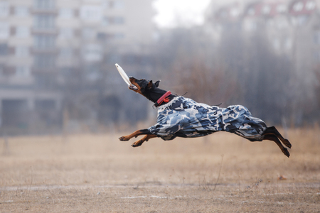 Dog catching flying disk, pet playing outdoors in a park. Stock Photo