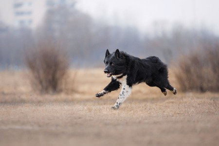 flying disc: Dog running and playing in the park. German Shepherd dog Stock Photo
