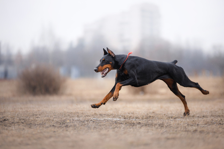 flying disc: Dog running and playing in the park. Doberman Pinscher dog