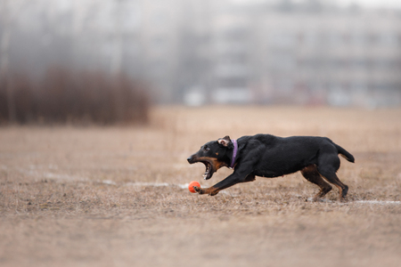 flying disc: Dog running and playing in the park. Miniature Pinscher Dog