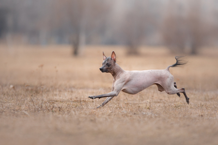 Dog running and playing in the park. Xoloitzcuintle - hairless mexican dog breed. Stock Photo