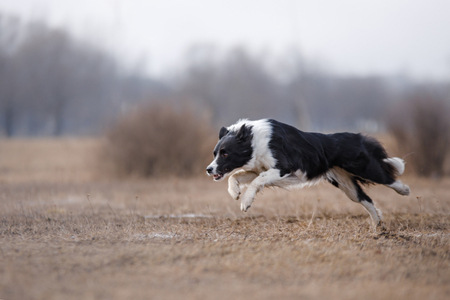 Dog running and playing in the park. Border collie 스톡 콘텐츠