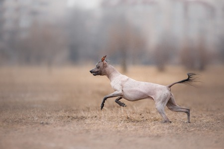 flying disc: Dog running and playing in the park. Xoloitzcuintle - hairless mexican dog breed. Stock Photo