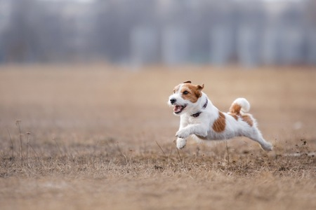 Dog running and playing in the park. Jack Russell Terrier Stock Photo