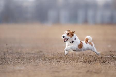 plastico pet: Perro corriendo y jugando en el parque. Jack Russell Terrier