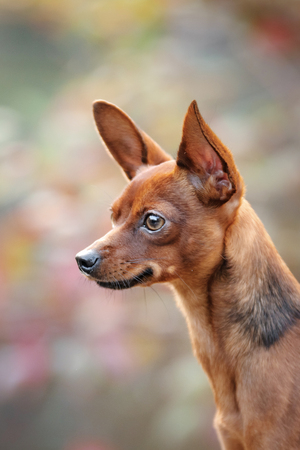 pale color: Dog Toy Terrier for a walk in the park during the day