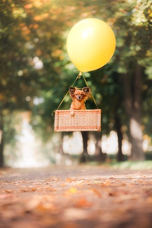 pale color: Dog Toy Terrier is flying on a balloon in the park