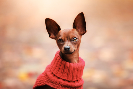 pale color: Dog toy terrier in the park with a suitcase Stock Photo