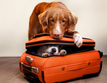 Jack Russell Terrier and Nova Scotia duck tolling Retriever are going on a trip 免版税图像 - 91212376