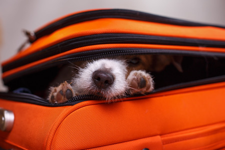 Dog Jack Russell Terrier sitting in a suitcase Stock Photo