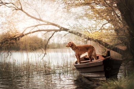 Dog Nova Scotia duck tolling Retriever in the boat under the tree Stock Photo