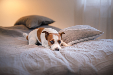 Dog Jack Russell Terrier lying on the bed in the room