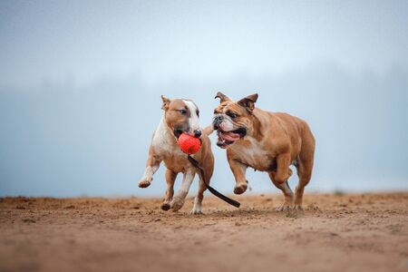 English bulldog and bull Terrier playing with ball on sand