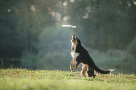 Dog border collie catches a toy standing on his hind legs