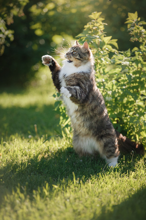 Fluffy cat standing on hind legs on grass at Bush