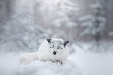 White fox fur in the snow in winter on nature