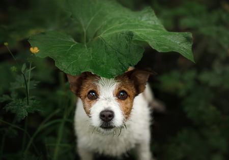 a small dog in the rain hides under a leaf. Dog cute Jack Russell Terrier in nature hiding from the rain under the leaf Фото со стока