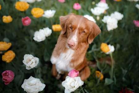 red-haired dog in tulip flowers. Pet in summer in nature. Nova Scotia Duck Tolling Retriever, Toller Archivio Fotografico - 102254462