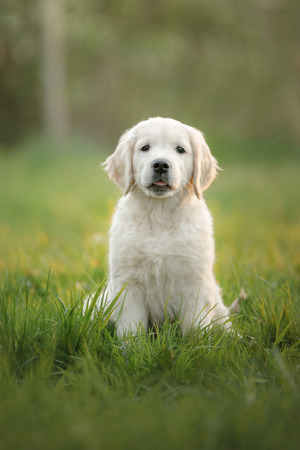 Golden Retriever puppy runs on grass and plays. Pet in the park in summer