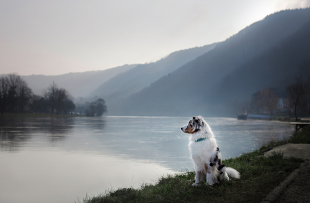 Dog sitting on the promenade near the river. Australian Shepherd in nature Banque d'images - 102673330