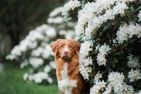 Portrait of a dog on a white flowers background. Pet in the Park. Nova Scotia Duck Tolling Retriever, Toller