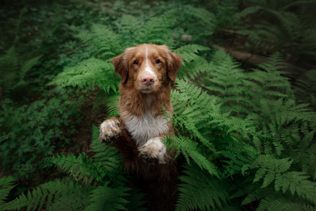 dog in the forest sits in a fern. Pet on the nature. Nova Scotia Duck Tolling Retriever, Toller