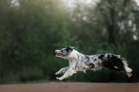 the dog catches the disc. Sports with the pet. Active Border Collie outside