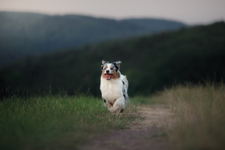running dog in the field. Pet in nature. Australian Shepherd on the grass