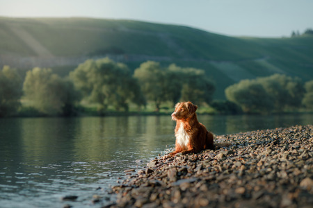dog on the lake. Nova Scotia Duck Tolling Retriever in nature. Toller, Pet with Travel Stock Photo