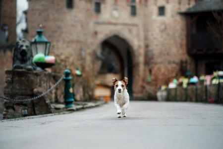 little dog at the castle. Jack Russell Terrier in nature. Traveling with a pet, city, Europe