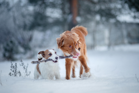 two dogs playing with a stick in the snow. Pet on nature. Nova Scotia Duck Tolling Retriever and a Jack Russell Terrier