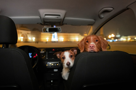 two dogs in the car. Travel with a pet. Nova Scotia Duck Tolling Retriever and Jack Russell Terrier in the evening for a walk