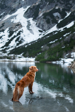 dog in the mountains in winter. Pet in the park on the nature. Nova Scotia Duck Tolling Retriever, Toller