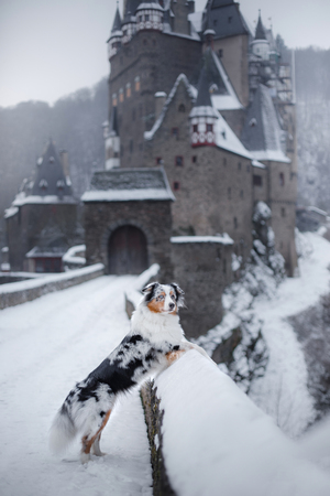 dog at the castle in winter. Mystical pet. Marble Australian Sheepdog Traveling with a dog.