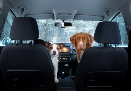 two cute dogs in the car on the seat look. A trip with a pet. Nova Scotia Duck Tolling Retriever and a Jack Russell Terrier. Travel in winter