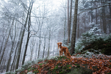 dog on nature in the winter in hoarfrost. Late autumn. Pet in the forest outdoors. Breed Nova Scotia Duck Tolling Retriever, Toller Standard-Bild