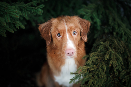 cute red dog looks out from under the tree. Nova Scotia Duck Tolling Retriever, Toller