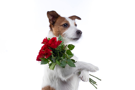 The dog holds a bouquet of flowers in its paws. on Valentines Day. Festive pet. Jack Russell Terrier on a white background