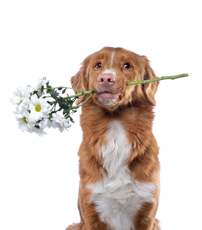 the dog holds the teeth flowers. Nova Scotia duck tolling Retriever on a white background. Funny pet, toller Stock Photo
