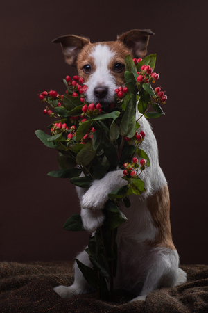 The dog holds a bouquet of flowers in its paws. on Valentines Day. Festive pet. Jack Russell Terrier on a brown background in studio
