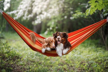 two cute dogs lying in a hammock in nature. Rest with a pet, Nova Scotia Retriever and Australian Shepherd