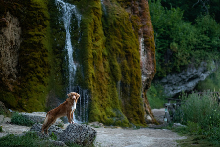 the dog at the waterfall. Pet on nature. Outside the house. Nova Scotia duck tolling Retriever