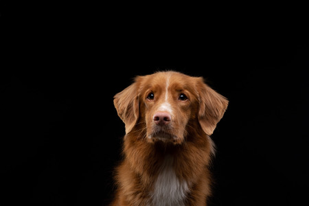 portrait of a dog on a black background. Nova Scotia Duck Tolling Retriever, Toller. Pet in the studio