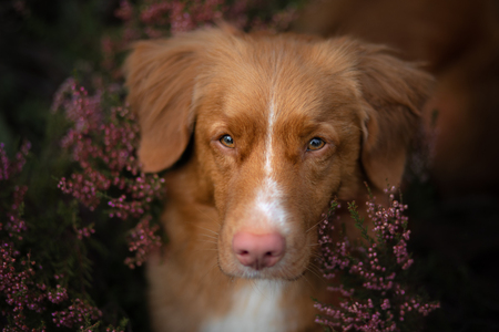 Toller dog in heather colors. walk with a pet in the forest. Journey