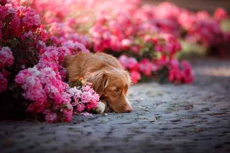 dog in pink flowers in nature. Nova Scotia duck tolling Retriever in flowerbeds Stock Photo