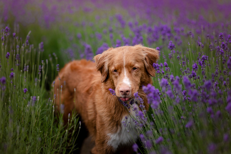 dog Nova Scotia duck tolling Retriever in lavender. Pet in the summer on the nature in colors