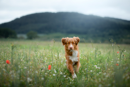 dog in the field in nature. pet in the spring for a walk, Nova Scotia Duck Tolling Retriever, Toller Stock Photo