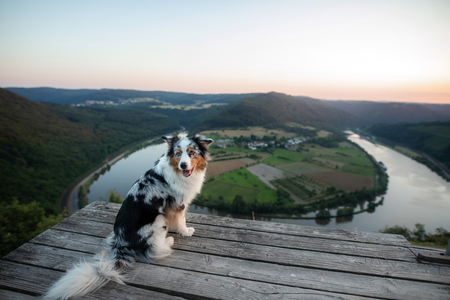 the dog sits and looks into the precipice. Pet in the mountains. Traveling dog. Australian Shepherd