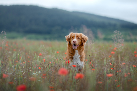 portrait of a dog in the field. Nova Scotia Duck Tolling Retriever, toller. Pet in nature